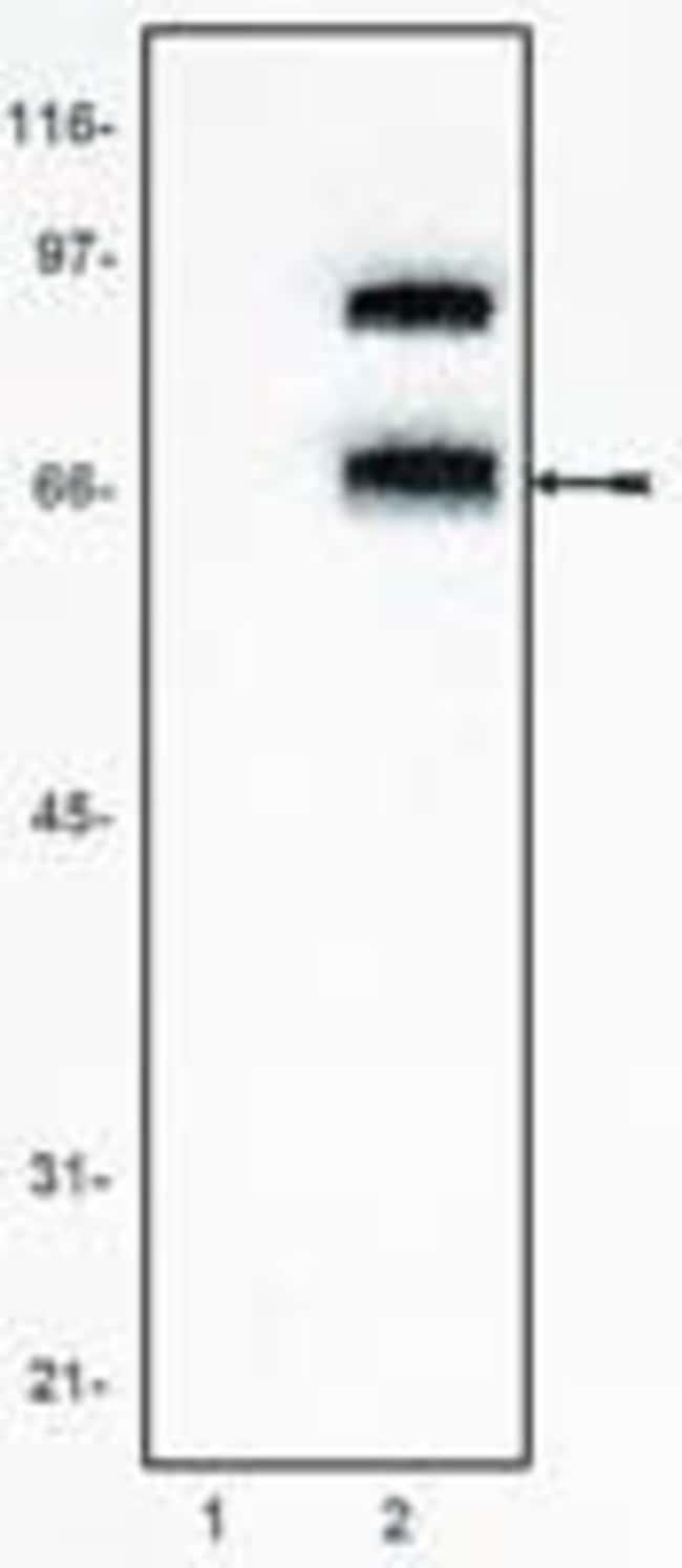 TCF7L2 Mouse anti-Human, Mouse, Clone: 6H5.3, Invitrogen 100 μg; Unconjugated:Antibodies