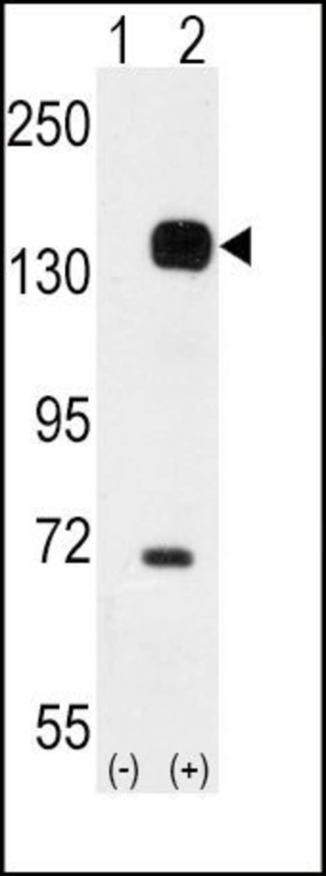 TEK Rabbit anti-Human, Polyclonal, Invitrogen 400 µL; Unconjugated