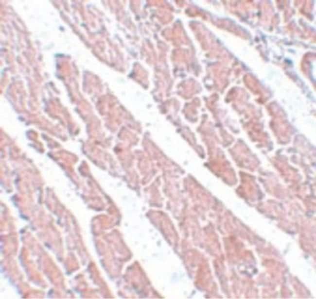 TMEM184C Rabbit anti-Human, Mouse, Rat, Polyclonal, Invitrogen 100 µg;