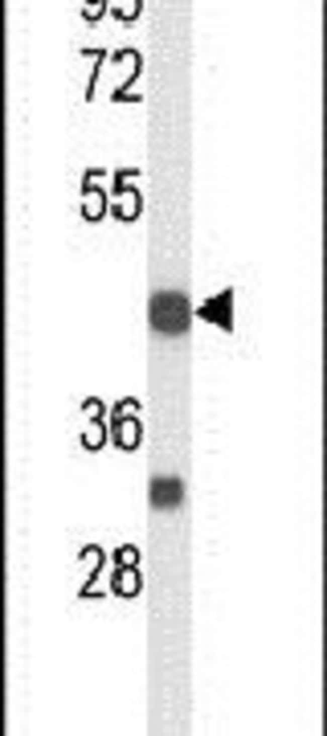 CD264 (TRAIL-R4) Rabbit anti-Human, Polyclonal, Invitrogen 400 µL;