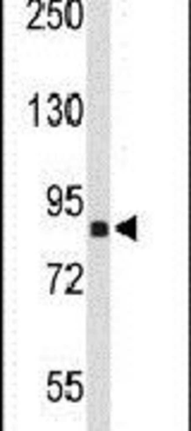 TNPO1 Rabbit anti-Human, Polyclonal, Invitrogen 400 µL; Unconjugated