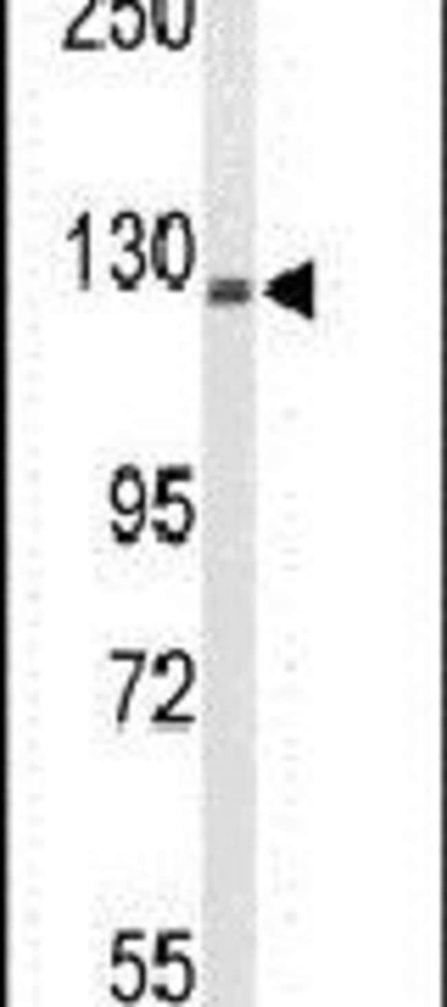 TREF1 Rabbit anti-Human, Polyclonal, Invitrogen 400 µL; Unconjugated