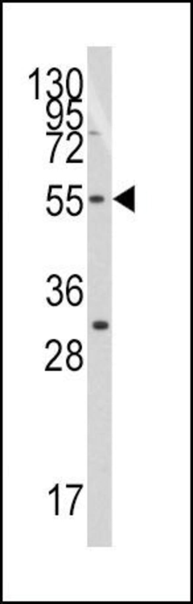 TRF1 Rabbit anti-Human, Polyclonal, Invitrogen 400 µL; Unconjugated