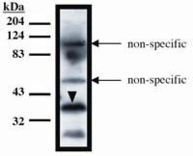 TUP1 Mouse anti-Yeast, Clone: 10, Invitrogen 100 μg; Unconjugated:Antibodies