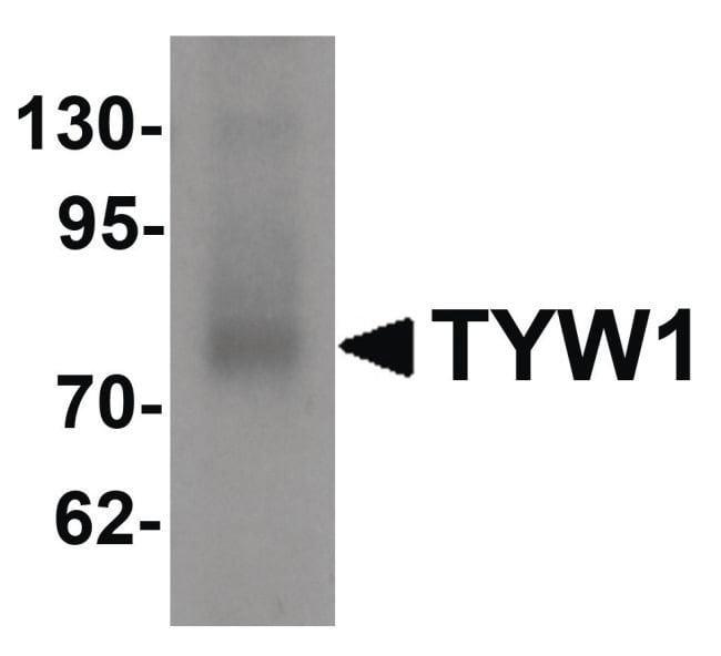 TYW1 Rabbit anti-Human, Rat, Polyclonal, Invitrogen 100 µg; Unconjugated