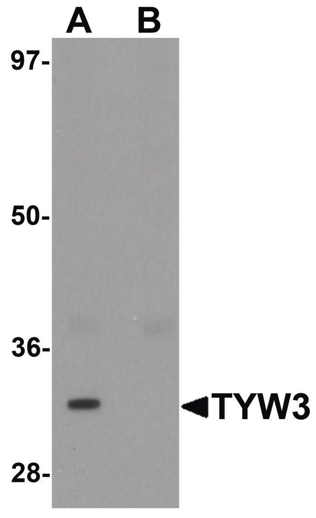 TYW3 Rabbit anti-Human, Mouse, Polyclonal, Invitrogen 100 µg; Unconjugated