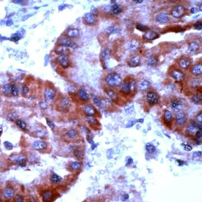 TrxR2 Rabbit anti-Human, Polyclonal, Invitrogen 1 mL; Unconjugated