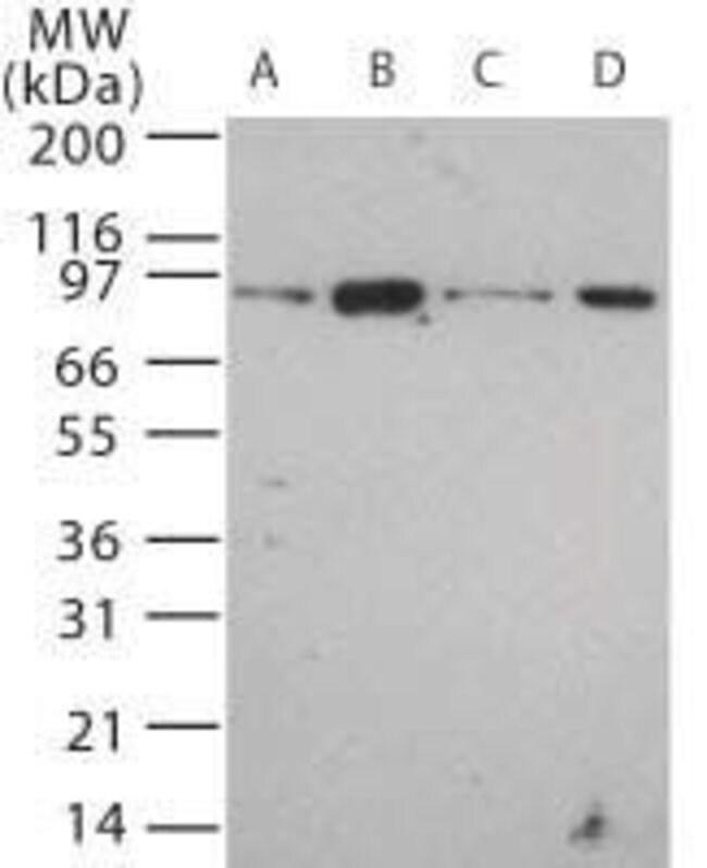 TLR12 Rabbit anti-Mouse, Rat, Polyclonal, Invitrogen 100 µg; Unconjugated