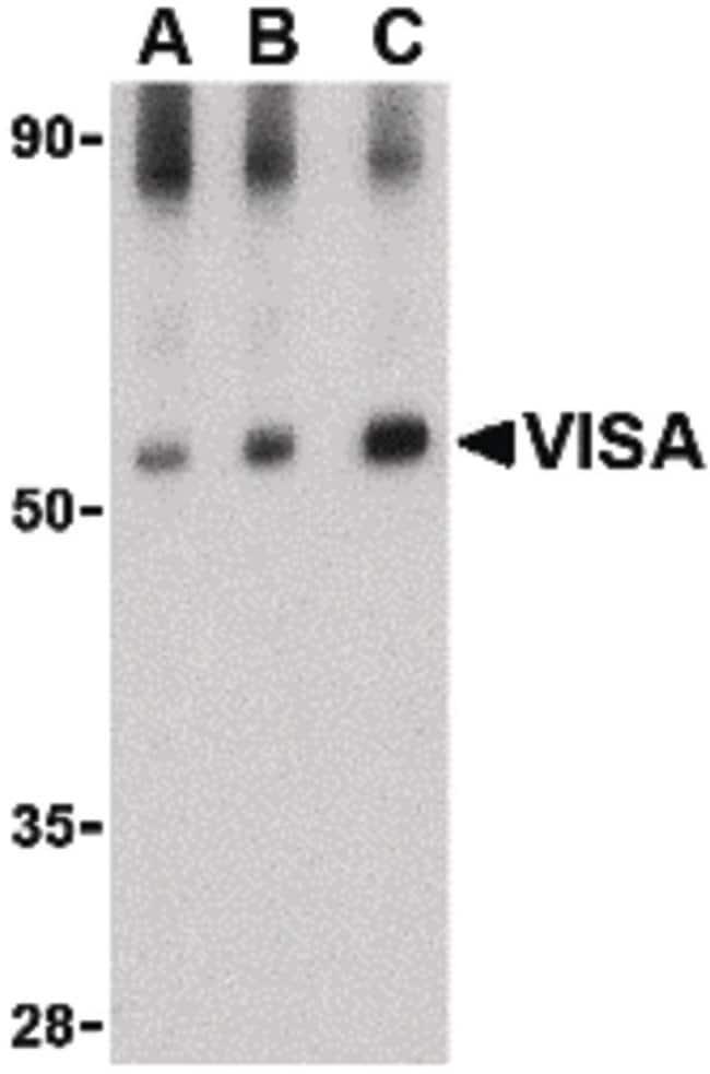 MAVS Rabbit anti-Human, Mouse, Rat, Polyclonal, Invitrogen 100 µg;