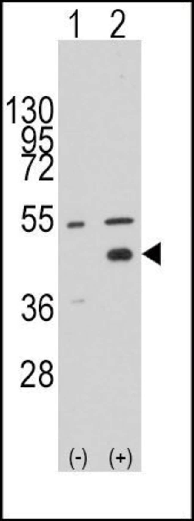 WIF1 Rabbit anti-Human, Polyclonal, Invitrogen 400 µL; Unconjugated