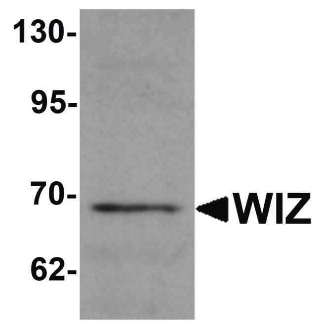 WIZ Rabbit anti-Human, Mouse, Rat, Polyclonal, Invitrogen 100 µg;