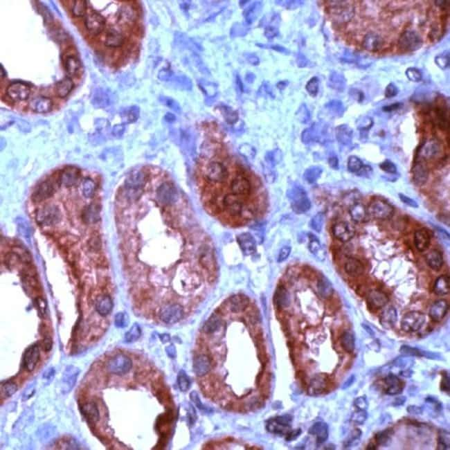 WNT1 Rabbit anti-Human, Mouse, Polyclonal, Invitrogen 1 mL; Unconjugated:Antibodies