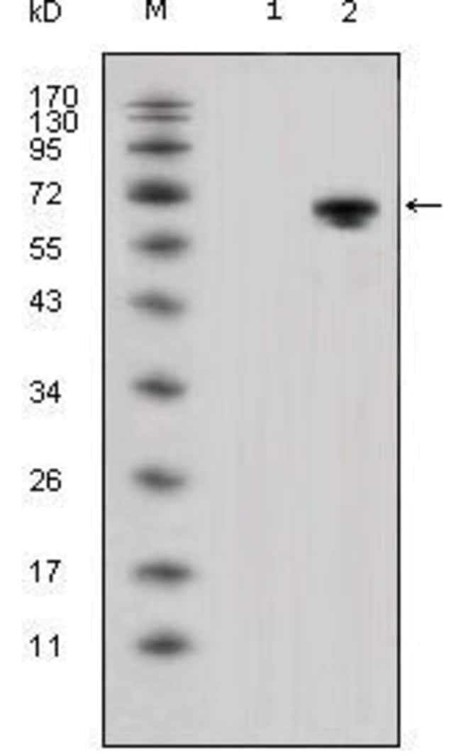 WNT5A Mouse anti-Human, Clone: 3D10, Invitrogen 100 µL; Unconjugated