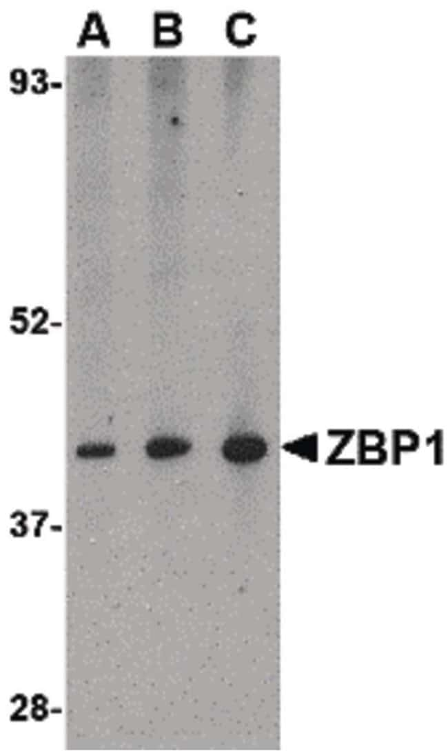 ZBP1 Rabbit anti-Human, Mouse, Rat, Polyclonal, Invitrogen 100 µg;