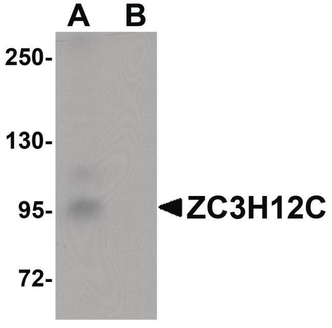ZC3H12C Rabbit anti-Human, Mouse, Rat, Polyclonal, Invitrogen 100 µg;