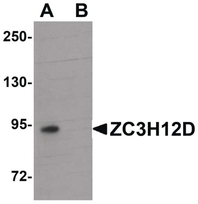 ZC3H12D Rabbit anti-Human, Polyclonal, Invitrogen 100 µg; Unconjugated