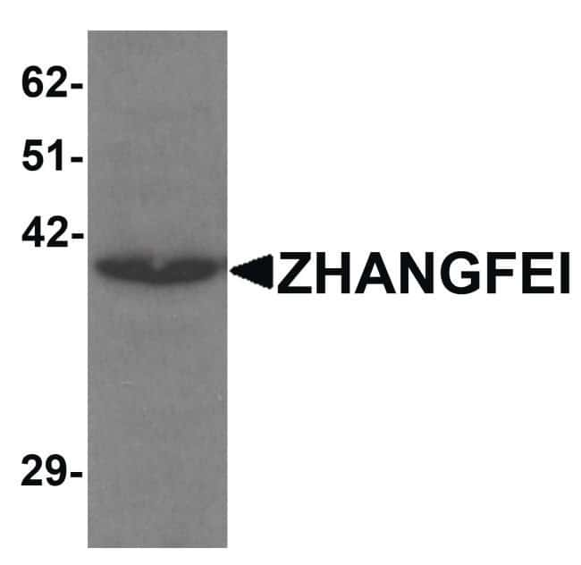 CREBZF Rabbit anti-Human, Mouse, Polyclonal, Invitrogen 100 µg; Unconjugated