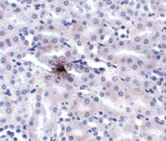 ZIP11 Rabbit anti-Human, Mouse, Rat, Polyclonal, Invitrogen 100 µg;