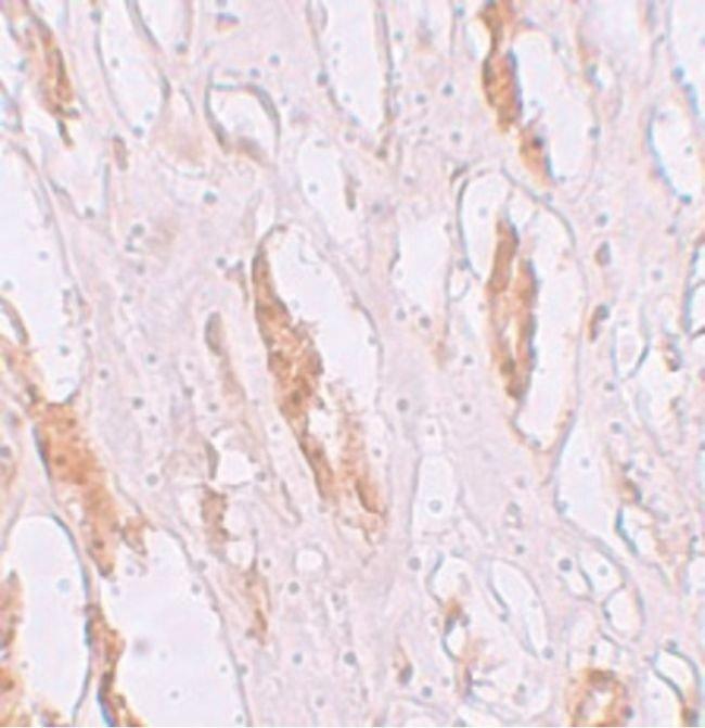 ZIP1 Rabbit anti-Human, Mouse, Polyclonal, Invitrogen 100 µg; Unconjugated