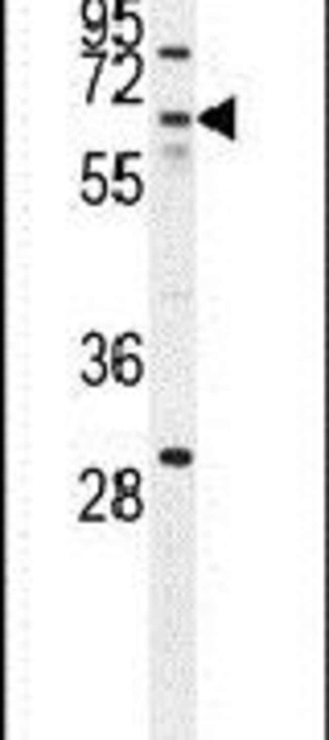 ZNF674 Rabbit anti-Human, Polyclonal, Invitrogen 400 µL; Unconjugated