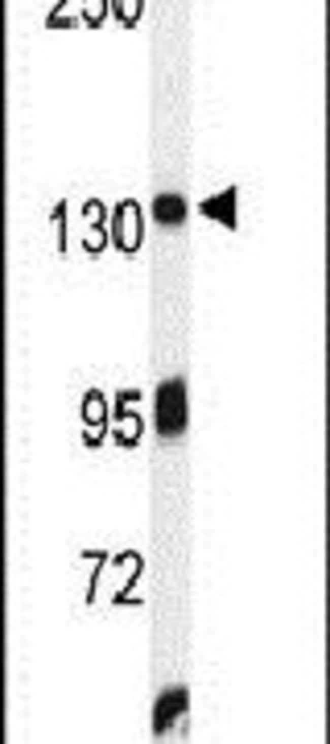 ZO-1 Rabbit anti-Human, Polyclonal, Invitrogen 400 µL; Unconjugated