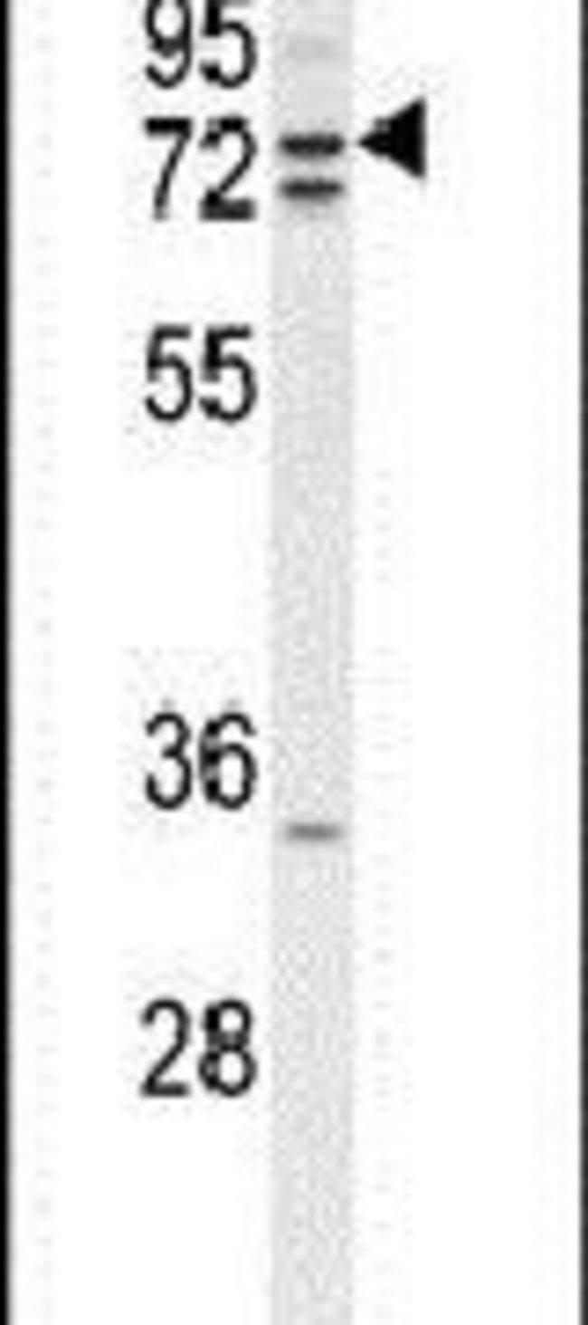 ZRANB1 Rabbit anti-Human, Mouse, Polyclonal, Invitrogen 400 µL; Unconjugated