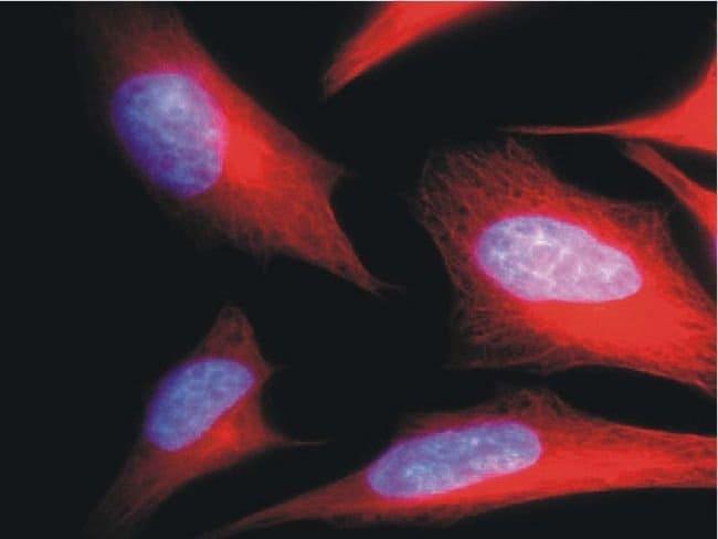 alpha Tubulin Mouse anti-Many, FITC, Clone: TU-01, Invitrogen 100 µg;