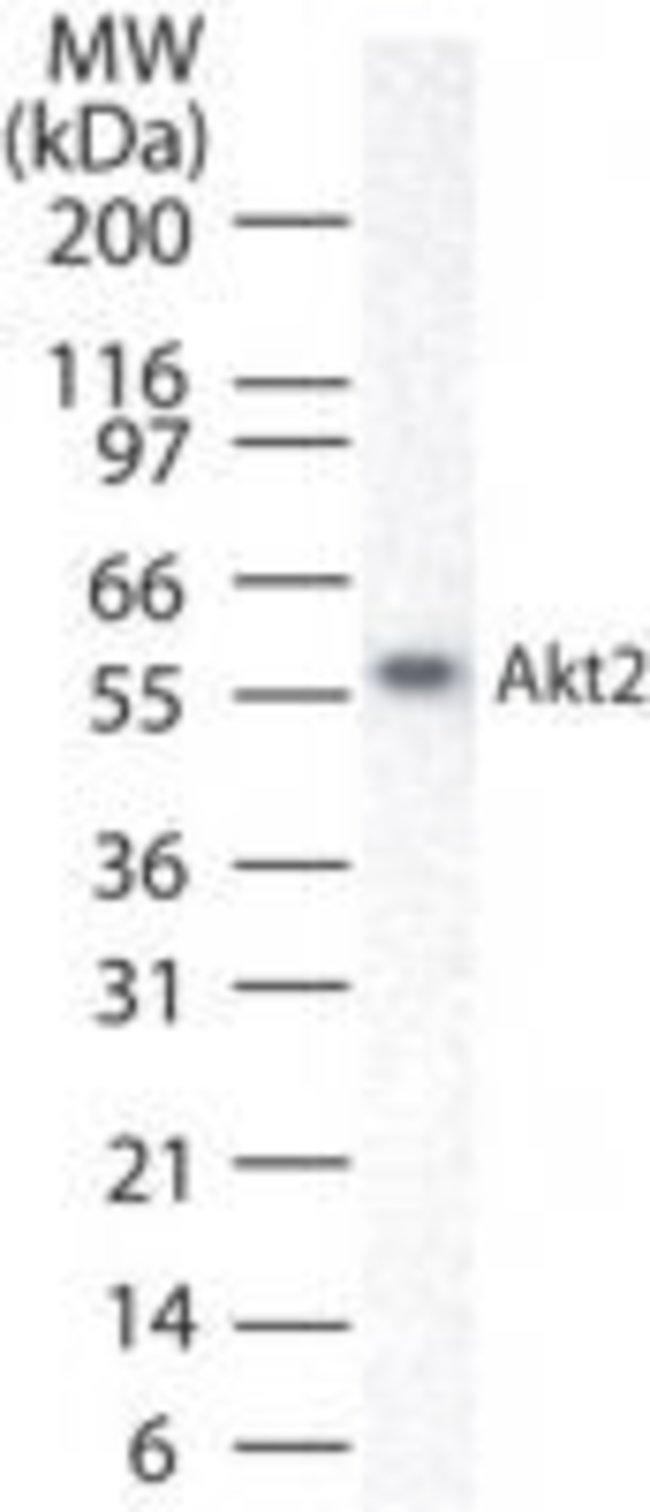 AKT2/AKT3 Rabbit anti-Human, Polyclonal, Invitrogen 100 μg; Unconjugated:Antibodies