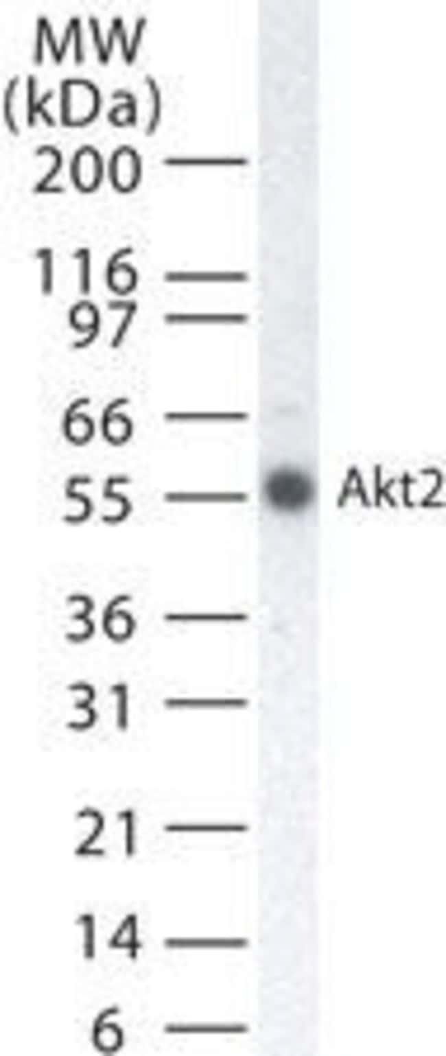 AKT2 Mouse anti-Human, Clone: 95C657.1.2, Invitrogen 200 µL; Unconjugated