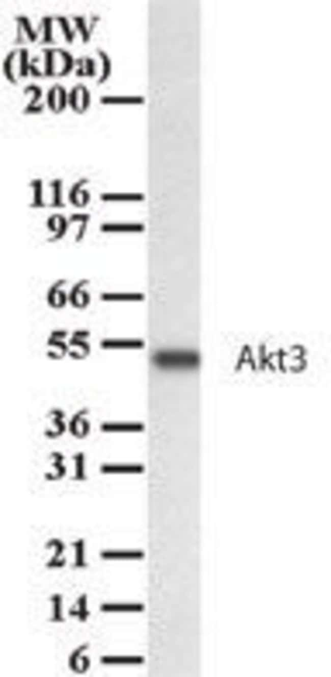 AKT3 Rabbit anti-Human, Mouse, Rat, Polyclonal, Invitrogen 100 μg; Unconjugated:Antibodies