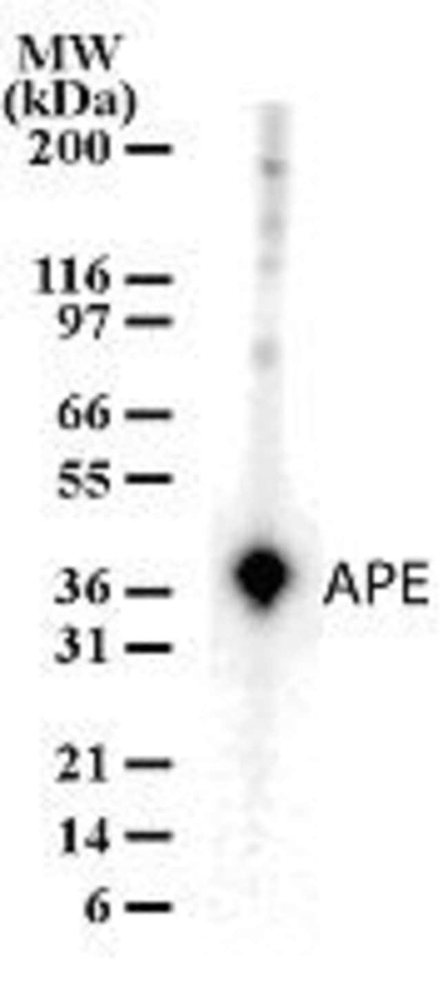 APE1 Rabbit anti-Human, Polyclonal, Invitrogen 100 μg; Unconjugated:Antibodies