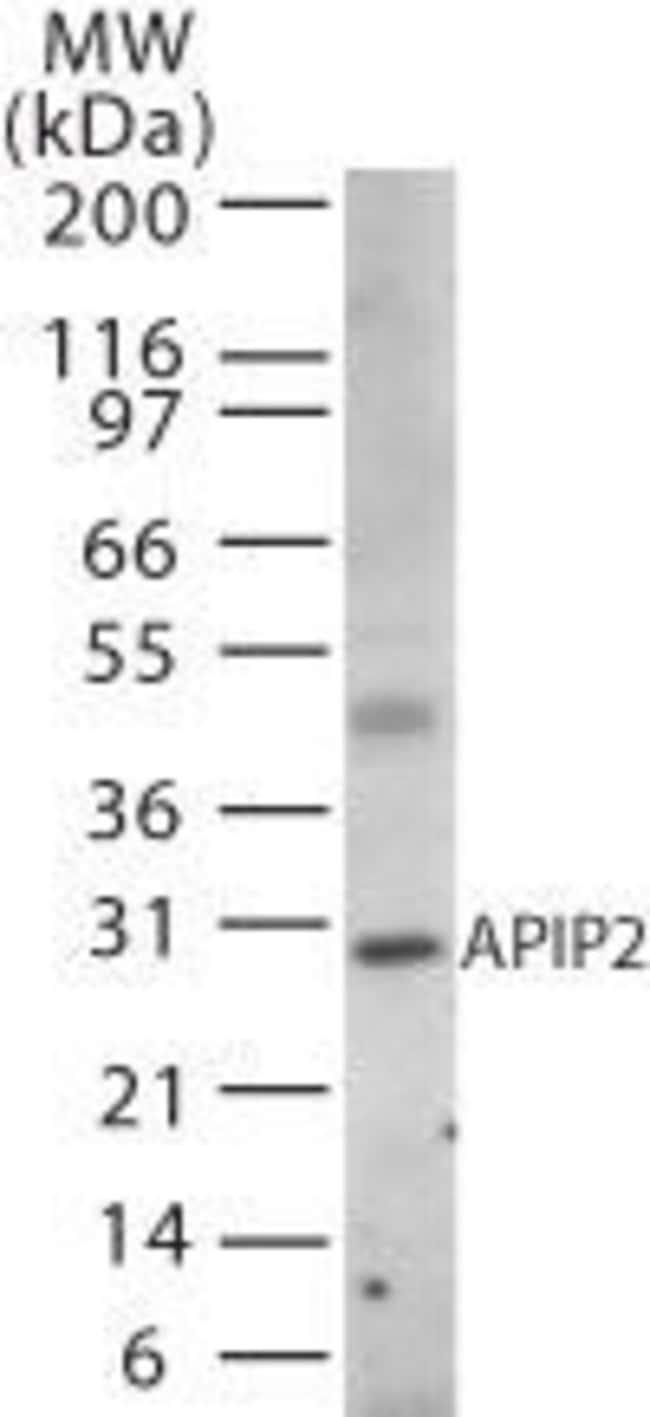 APIP Rabbit anti-Human, Polyclonal, Invitrogen 100 µg; Unconjugated