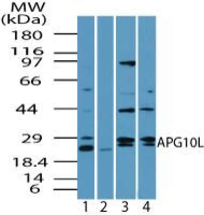 ATG10 Rabbit anti-Human, Mouse, Rat, Polyclonal, Invitrogen 100 µg;
