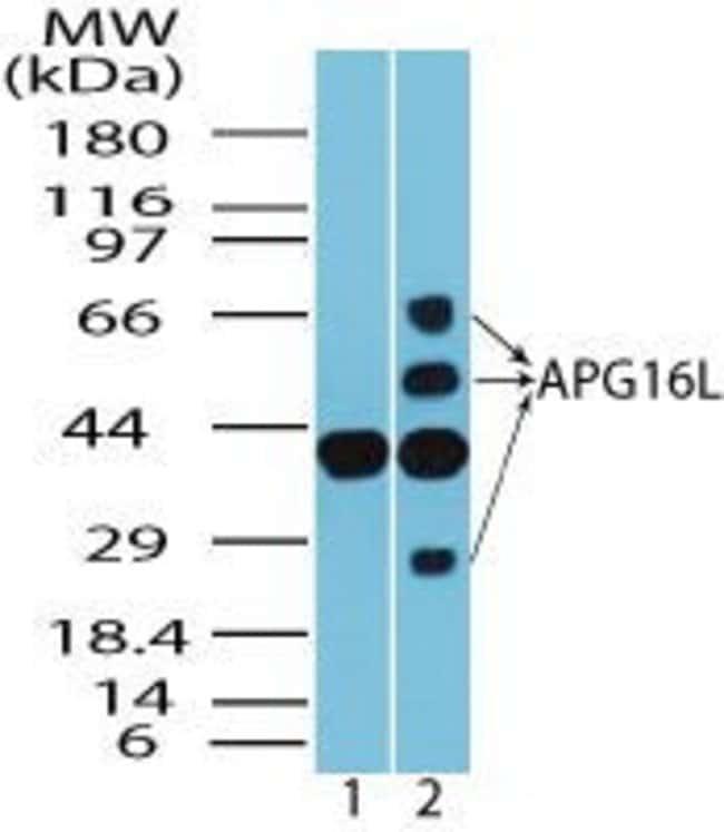 ATG16L1 Rabbit anti-Human, Mouse, Non-human primate, Polyclonal, Invitrogen