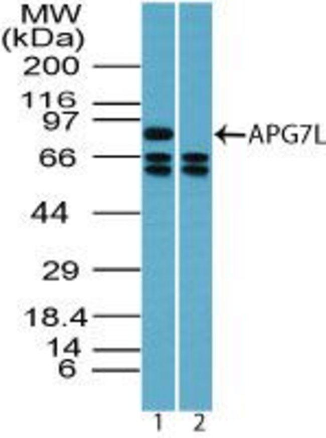 ATG7 Rabbit anti-Human, Polyclonal, Invitrogen 100 µg; Unconjugated