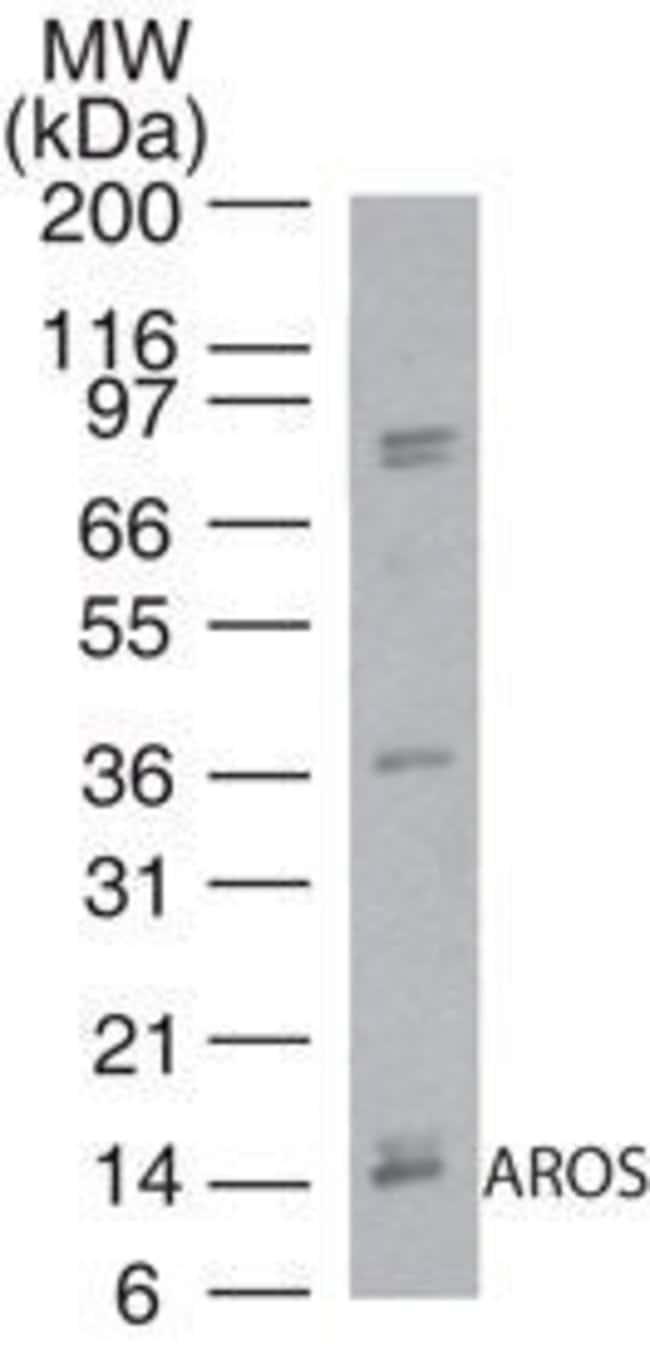 AROS Rabbit anti-Human, Polyclonal, Invitrogen 100 µg; Unconjugated