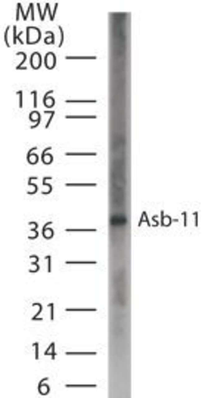 ASB11 Rabbit anti-Human, Polyclonal, Invitrogen 200 µL; Unconjugated