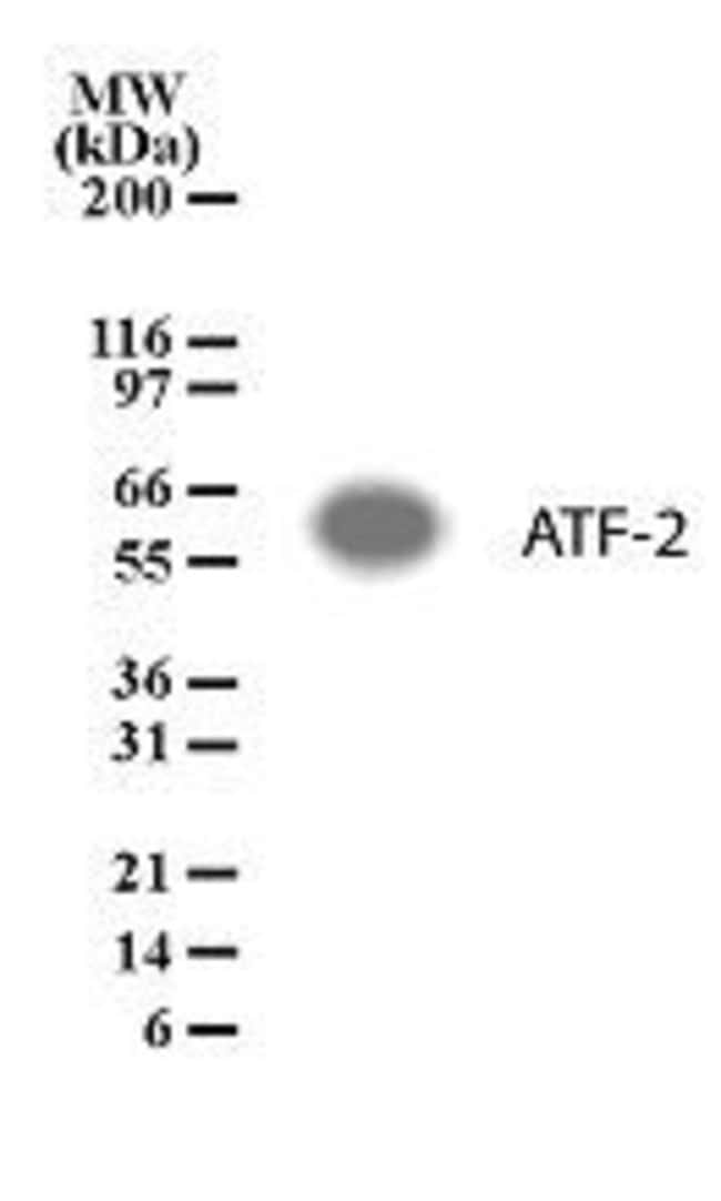 ATF2 Rabbit anti-Human, Polyclonal, Invitrogen 100 μg; Unconjugated:Antibodies