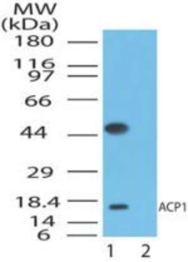 Acid Phosphatase 1 Rabbit anti-Human, Polyclonal, Invitrogen 100 μg;