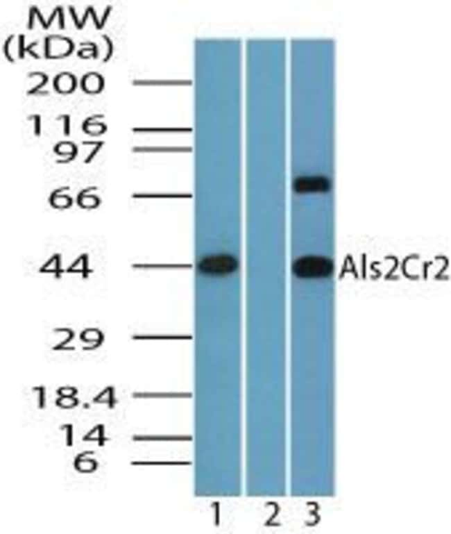 ALS2CR2 Rabbit anti-Bovine, Canine, Equine, Human, Mouse, Non-human primate,