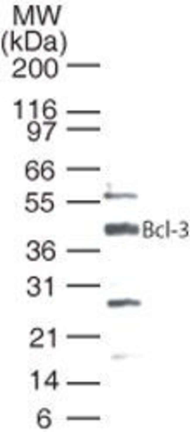 Bcl-3 Rabbit anti-Human, Polyclonal, Invitrogen 100 µg; Unconjugated