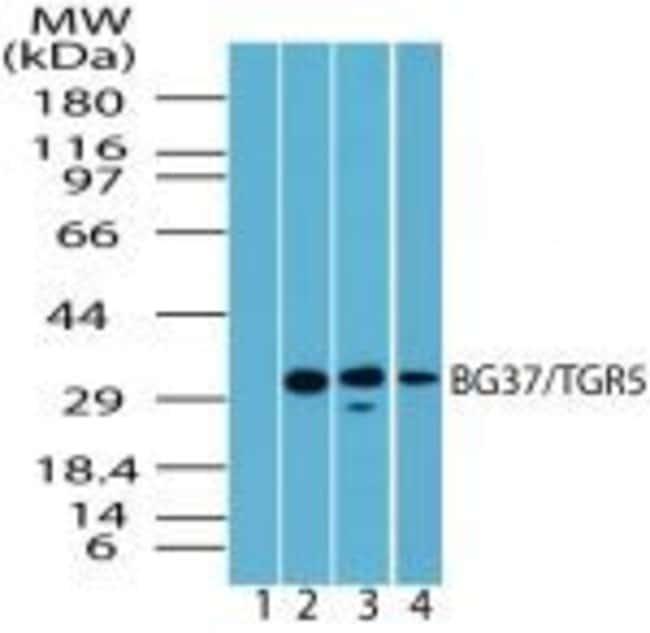 TGR5 Rabbit anti-Human, Mouse, Rat, Polyclonal, Invitrogen 100 µL;