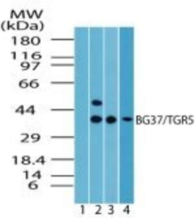 TGR5 Rabbit anti-Human, Mouse, Non-human primate, Rat, Polyclonal, Invitrogen