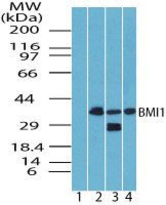 BMI-1 Rabbit anti-Human, Mouse, Non-human primate, Rat, Polyclonal, Invitrogen