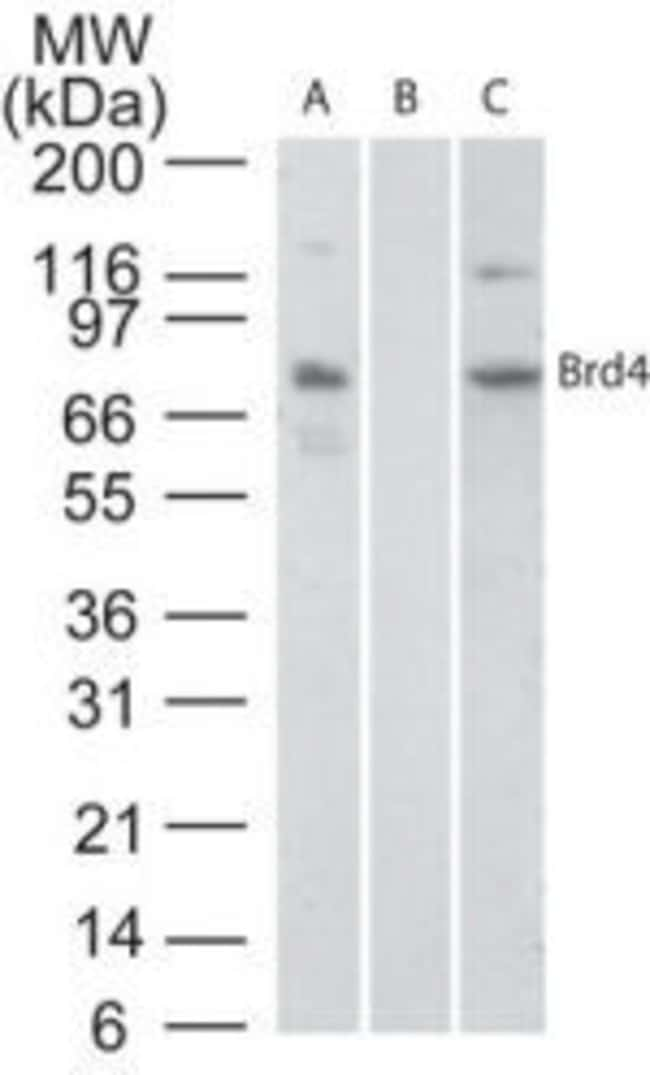 BRD4 Rabbit anti-Human, Mouse, Non-human primate, Rat, Polyclonal, Invitrogen