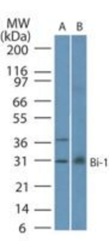Bi-1 Mouse anti-Human, Clone: 20F248, Invitrogen 0.1 mL; Unconjugated