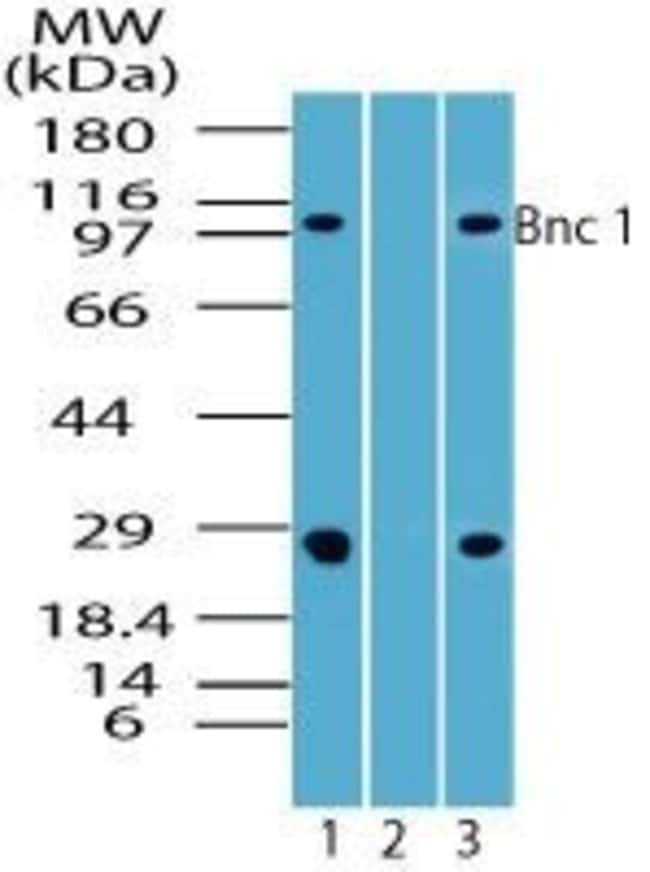 BNC1 Rabbit anti-Human, Non-human primate, Polyclonal, Invitrogen 100 µg;