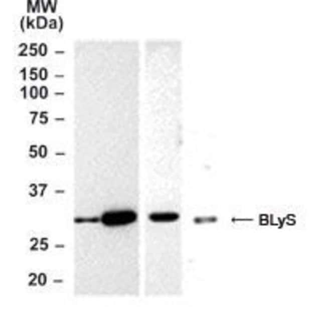BAFF Rabbit anti-Human, Mouse, Polyclonal, Invitrogen 100 μg; Unconjugated:Antibodies