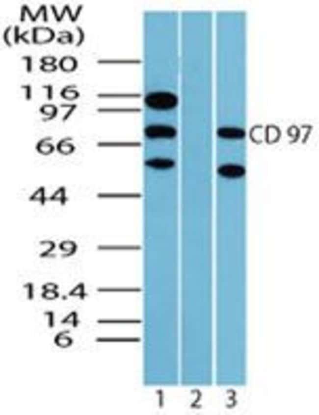 CD97 Rabbit anti-Human, Mouse, Non-human primate, Polyclonal, Invitrogen