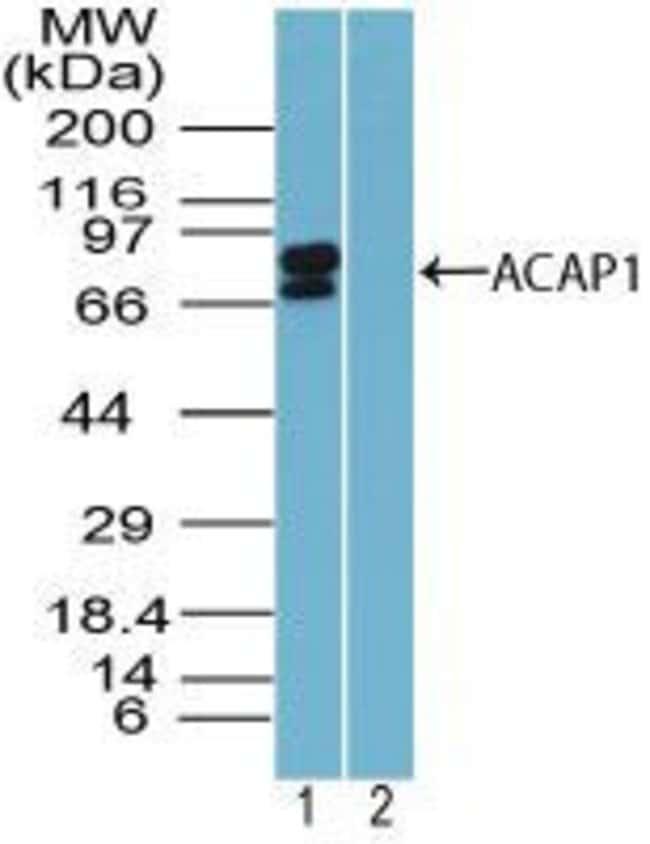 CENTB1 Rabbit anti-Human, Polyclonal, Invitrogen 100 µg; Unconjugated